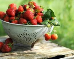 Des fraises fraîches cueillies dans une ferme en Suisse.